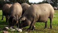 Iberico pata negra pig in a dehesa