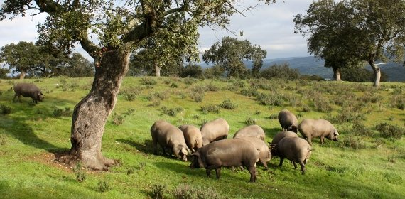 GM e Hijos Iberian pigs in the montanera
