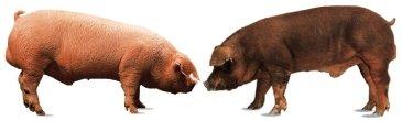 White hogs (Landrace & Duroc)
