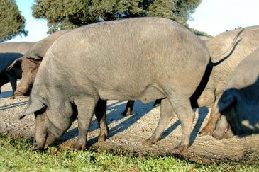 Retinto Iberian pig